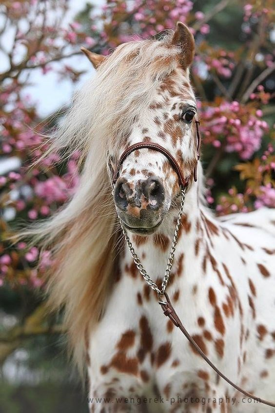 appaloosa Horse with white fur and brown spots - www.wengerek-photography.com