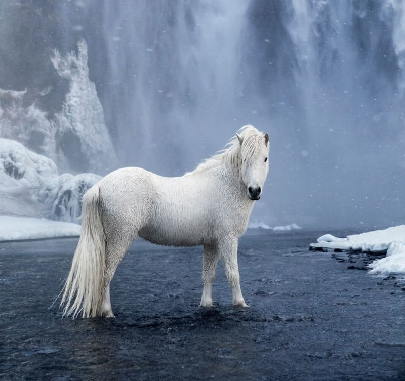 white icelandic horse standing in icy water in front of a waterfall