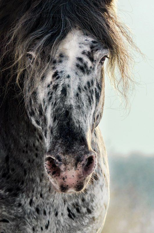 grey, white and black spotted horse