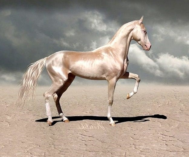 white akhal-teke horse with its front leg lifted standing in the desert