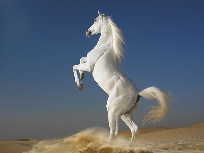 white horse rearing on its hind legs in the desert