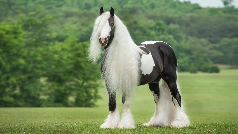black and white gypsy Horse