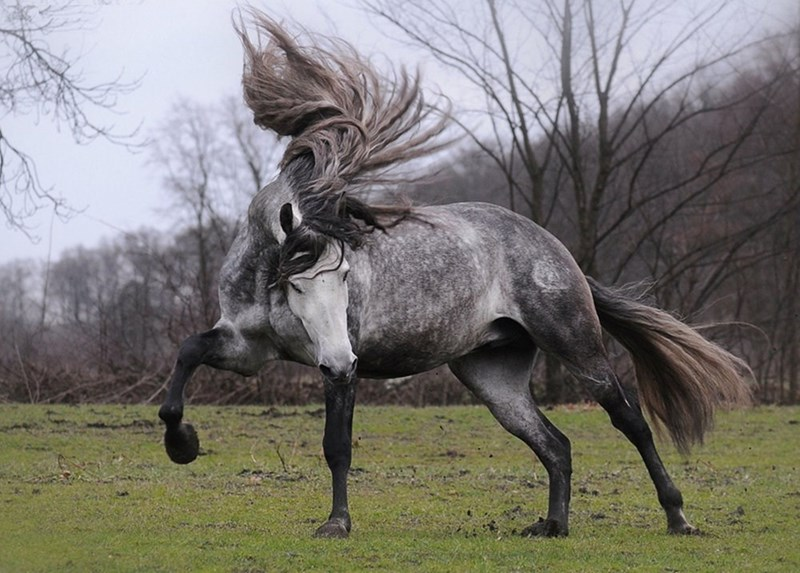 grey andalusian horse mid-gallop tossing his hair back