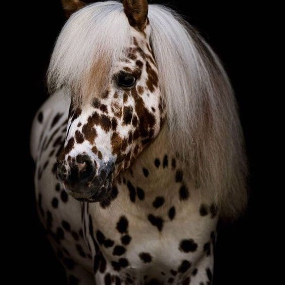 white and brown spotted miniature appaloosa horse