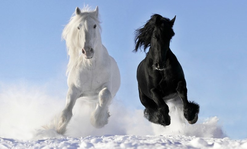 Beautiful picture of a black and white horses running towards the camera in snow