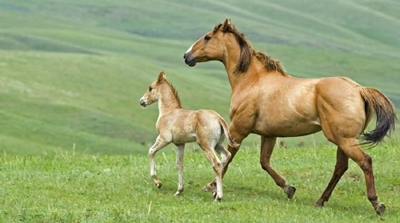 brown foal and mare trotting next to each other on green grass