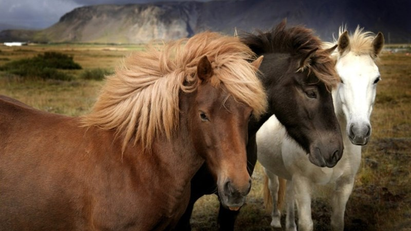 three mustang horses, chestnut chocolate and white