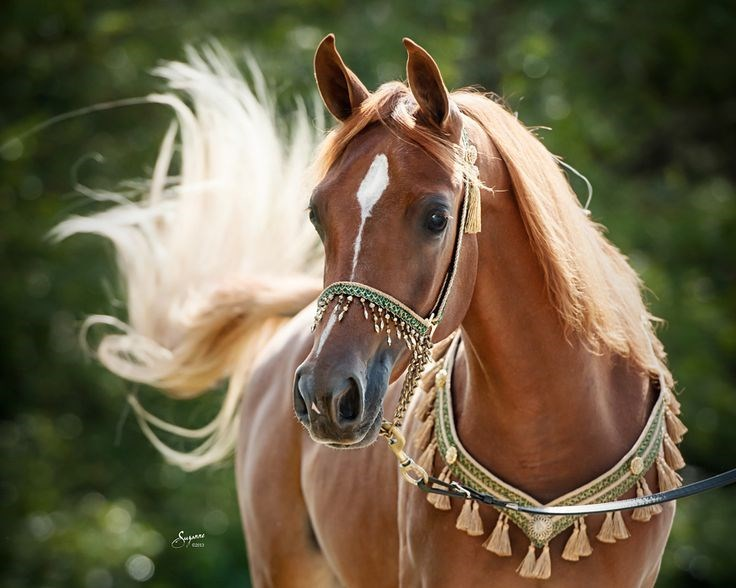 chestnut horse wearing a decorative bridle