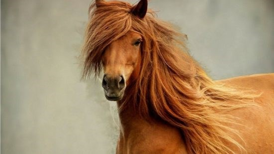 chestnut horse with great hair