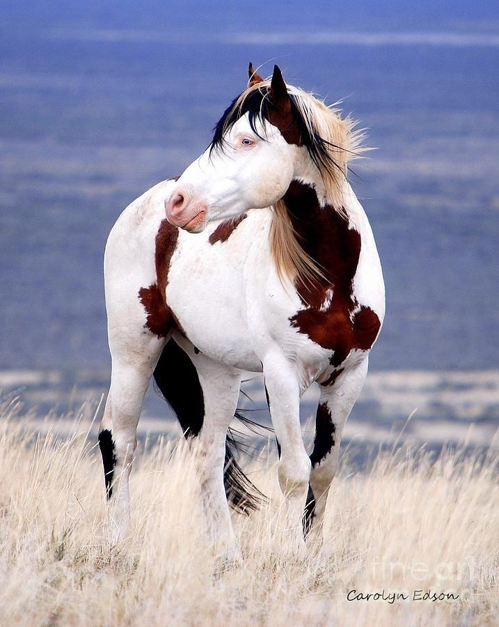 white and brown paint horse with blue eyes