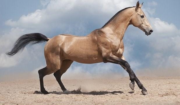 dun horse running in the desert