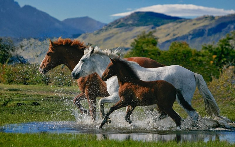 three horses running next to each other through a puddle with mountains behind them