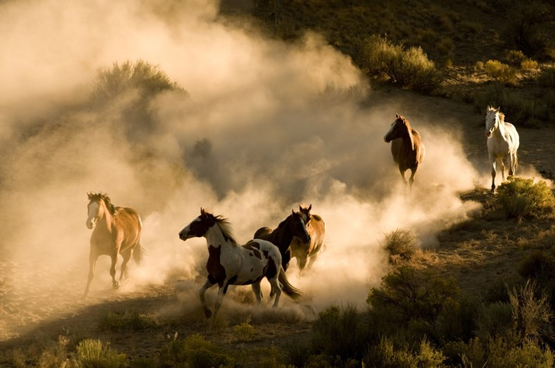 wild horses running in the dust
