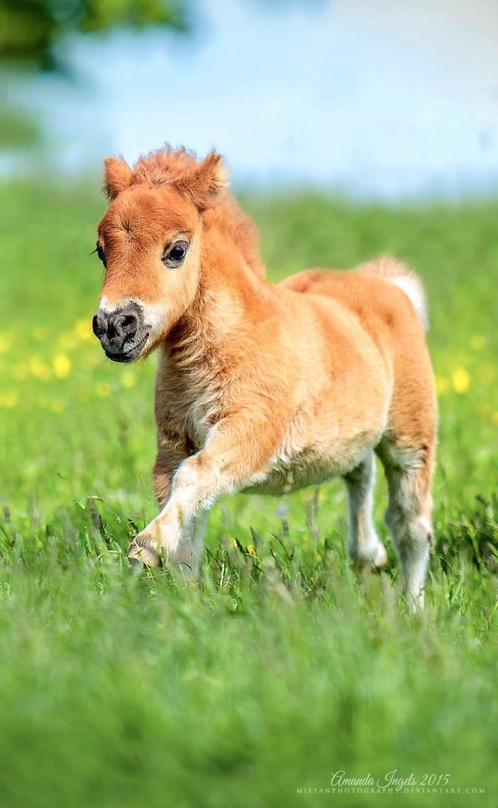 miniature Horse foal - Cmanda Gngels 2015 MISTANPHOTOGRAPHPDEVIANTART COM