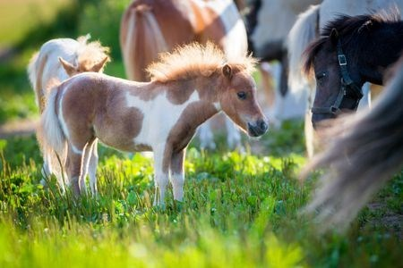 baby miniature horse