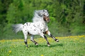 spotted white miniature horse galloping
