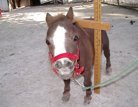 thumbelina, the smallest horse in the world