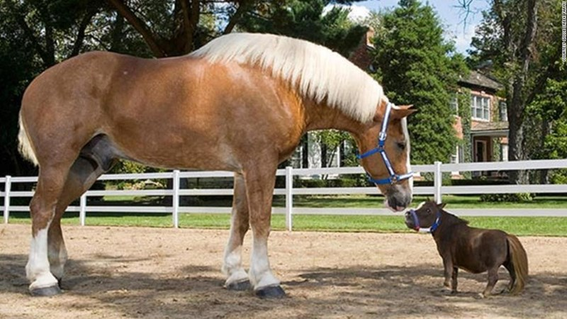 Big Jake standing with thumbelina, the world's biggest and smallest horses