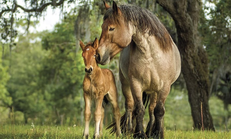 horse picture of ardennes mare with her foal among trees