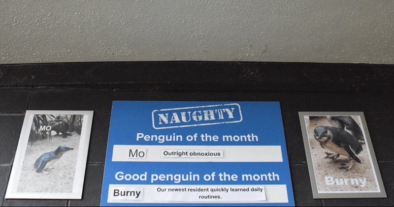 Signage - NAUGHTY MO Penguin of the month Mo Outright obnoxious Good penguin of the month Burny Our newest resident quickly learned daily Burny routines