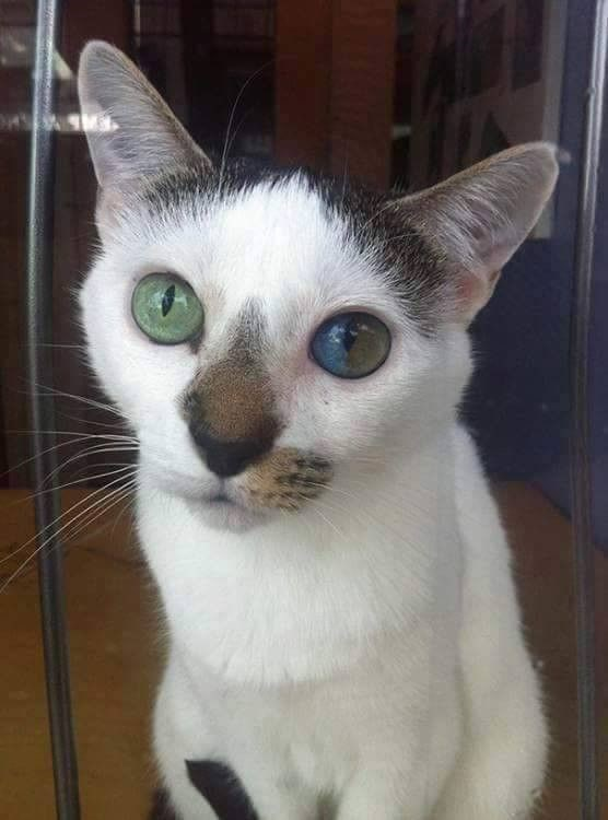 cat with two color eyes dichromatic