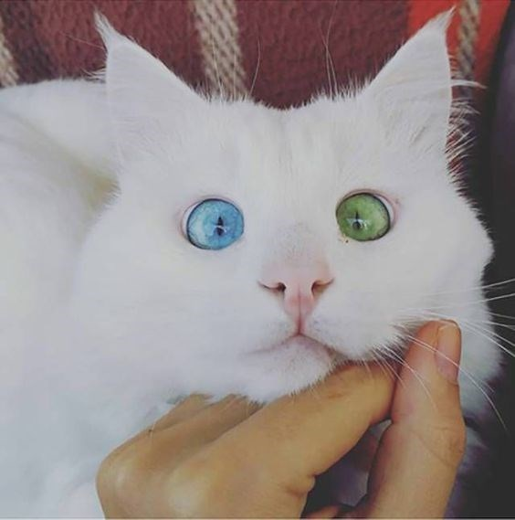 cute cat with green and blue eyes