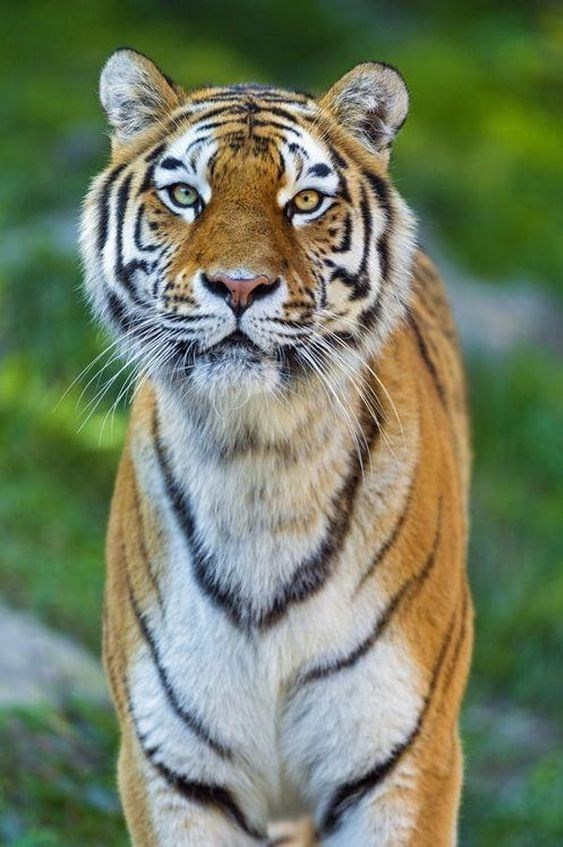 tiger with dichromatic eyes