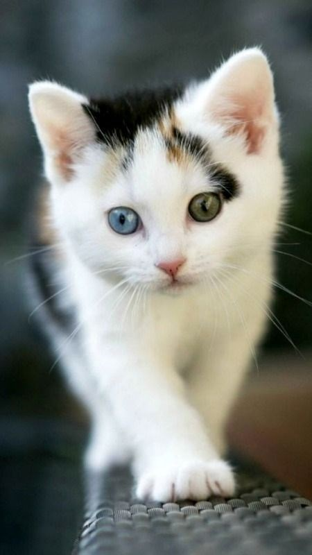 kitten with two eye collors