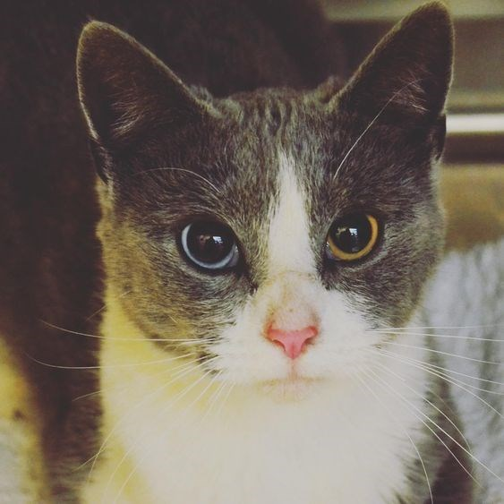 cat with slightly different eye colors