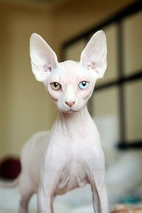 hairless cat with big ears and different color eyes