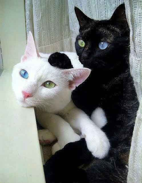 white cat and black cat with different colored eyes