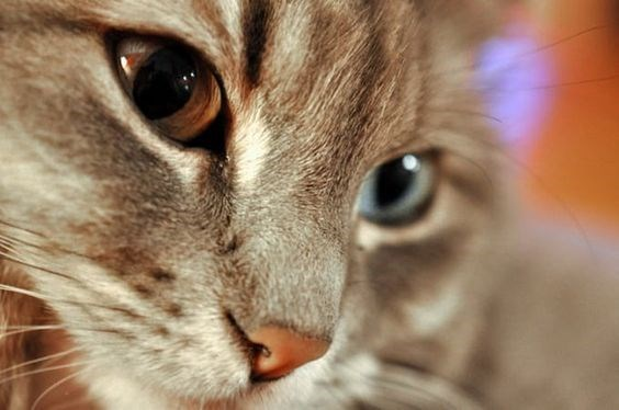 cats face with two colored eyes