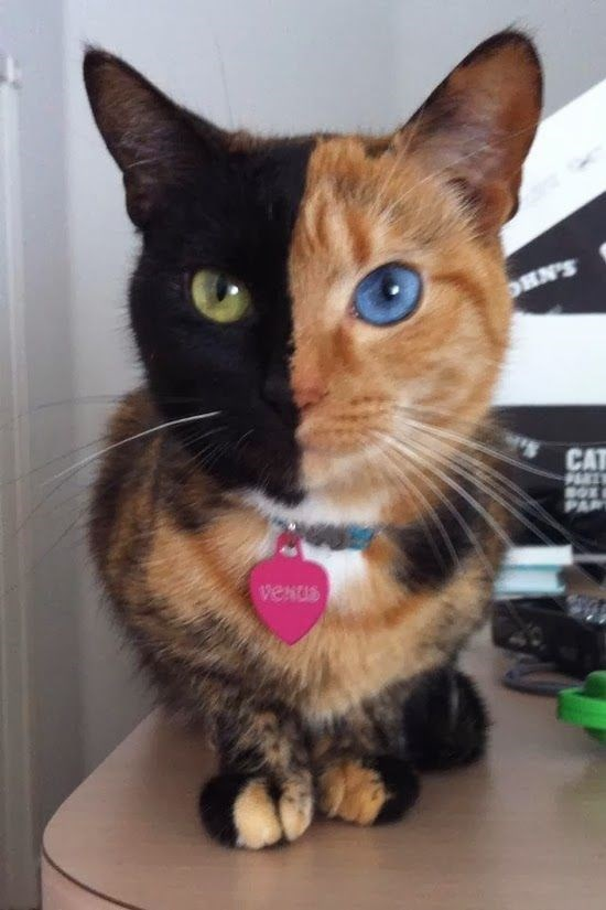 cat with black fur line down the middle of face and different color eyes