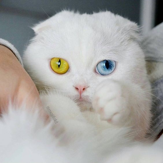 cat with yellow and blue eye