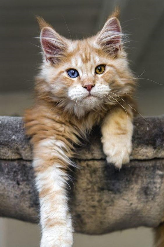 majestic maine coon cat with dichromatic eyes