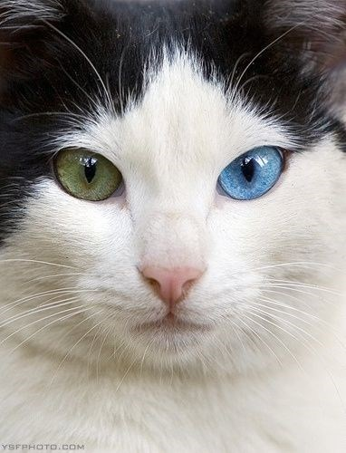 cat close up with dichromatic eyes