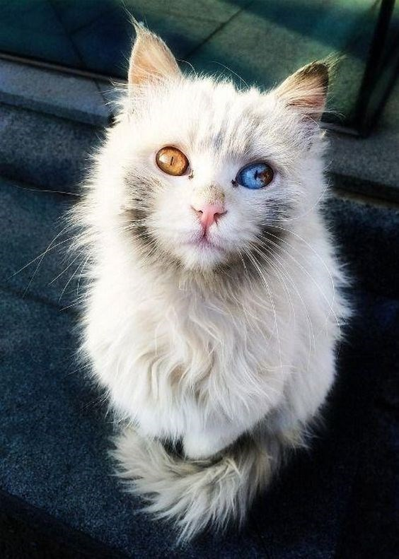 trippy looking cat with dichromatic eyes