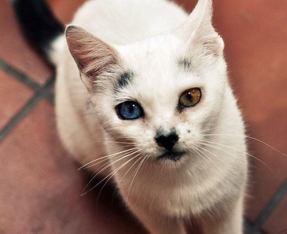 dichromatic cat eyes