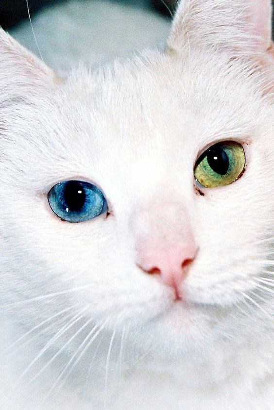 cat with dichromatic eyes