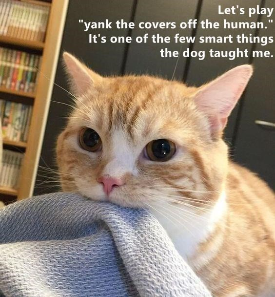 """Cat - Let's play """"yank the covers off the human. It's one of the few smart things the dog taught me."""