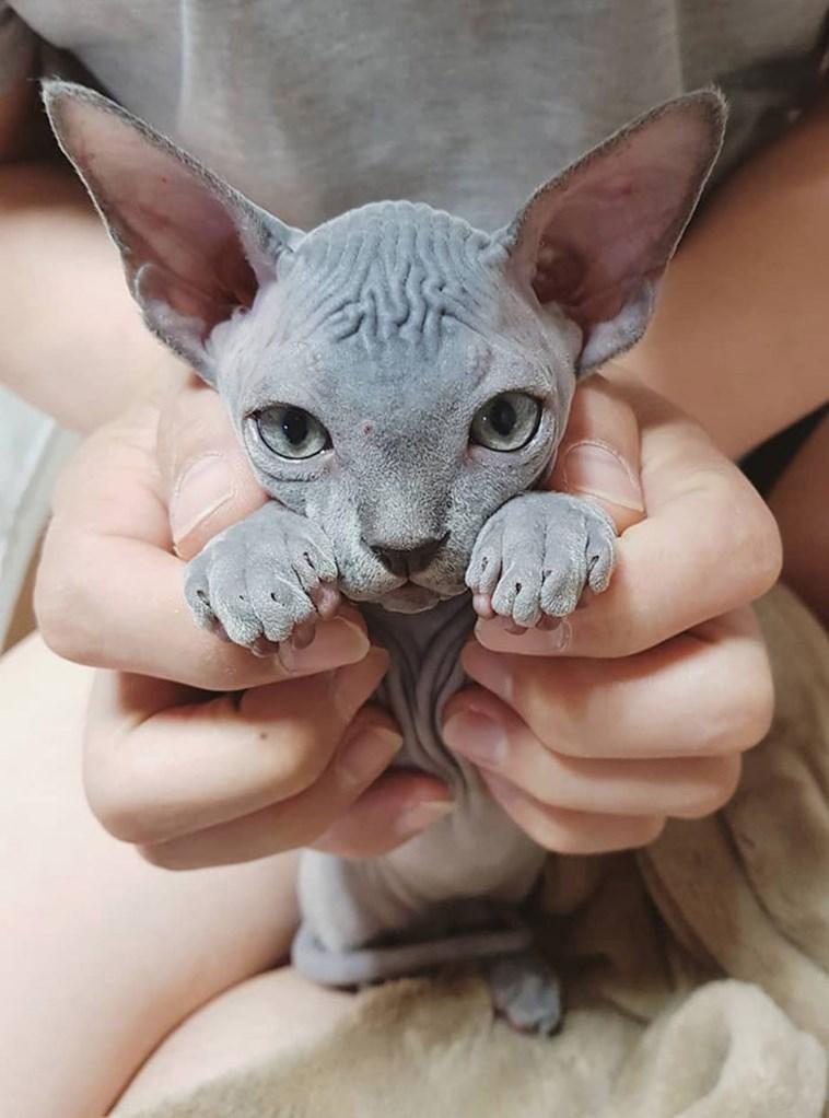 CatCat,Donskoy,Mammal,Sphynx,Vertebrate,Small to medium-sized cats,Ukrainian levkoy,Felidae,Peterbald,Cornish rex