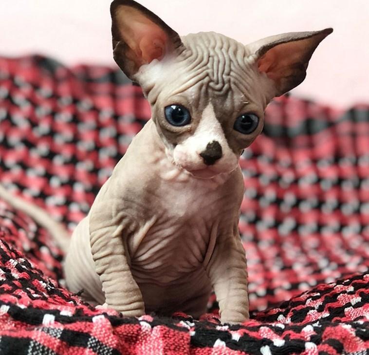 sphynx - Cat