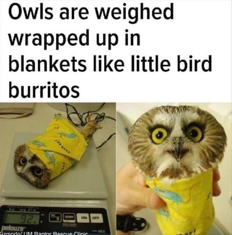 burrito cute Owl bird - 9317860608