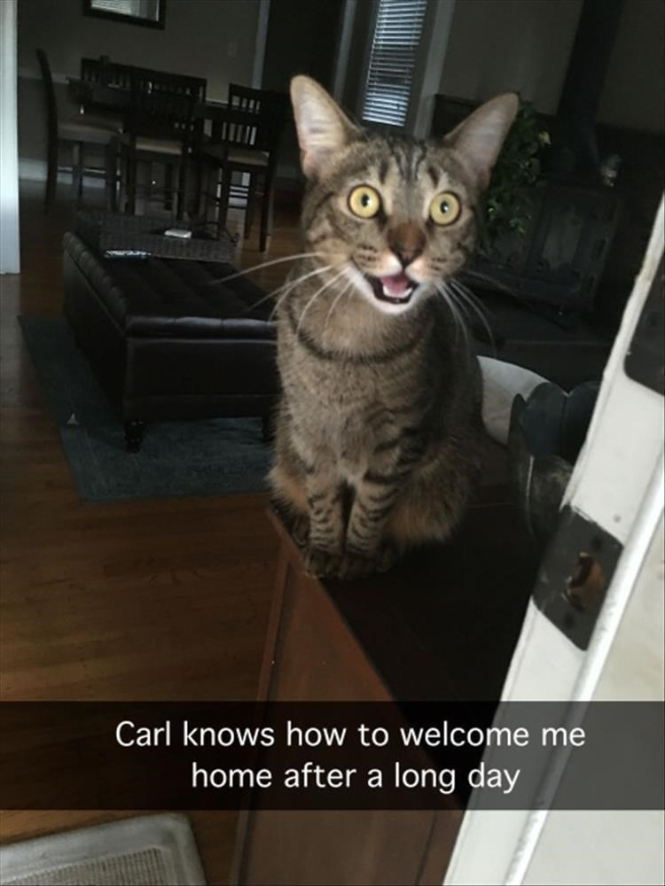 cat memes - Cat - Carl knows how to welcome me home after a long day