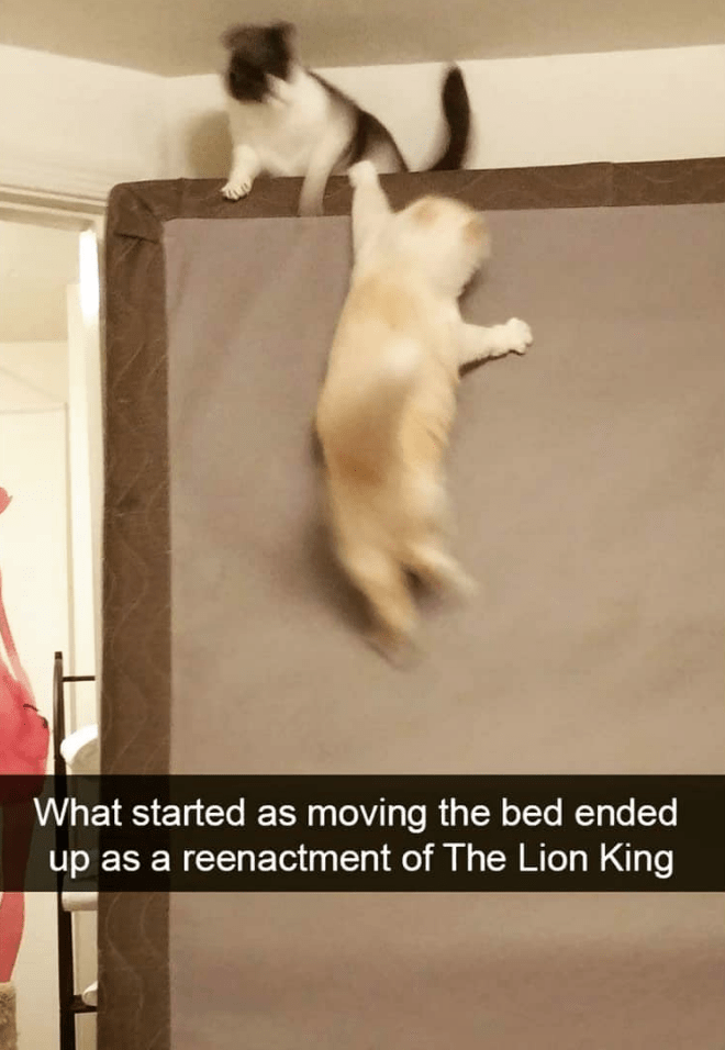 cat memes - Cat - What started as moving the bed ended reenactment of The Lion King