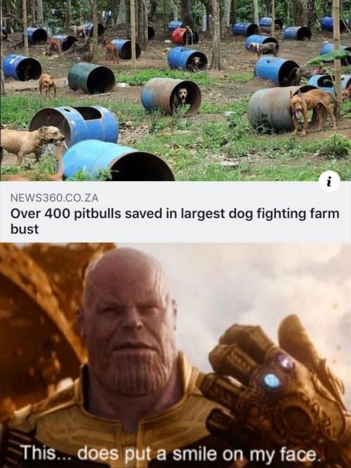 Adaptation - NEWS360.CO.ZA Over 400 pitbulls saved in largest dog fighting farm bust This... does put a smile on my face.