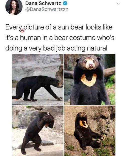 Vertebrate - Dana Schwartz @DanaSchwartzzz Every picture of a sun bear looks like it's a human in a bear costume who's doing a very bad job acting natural