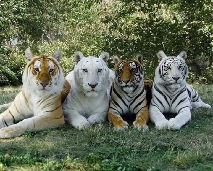 aww wildcats Cats beautiful - 9318494464