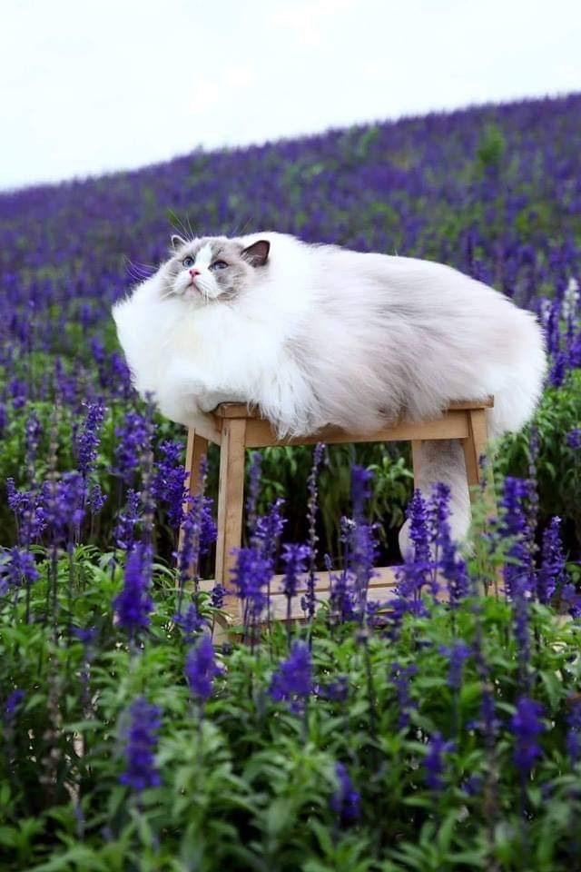 meme - Lavender