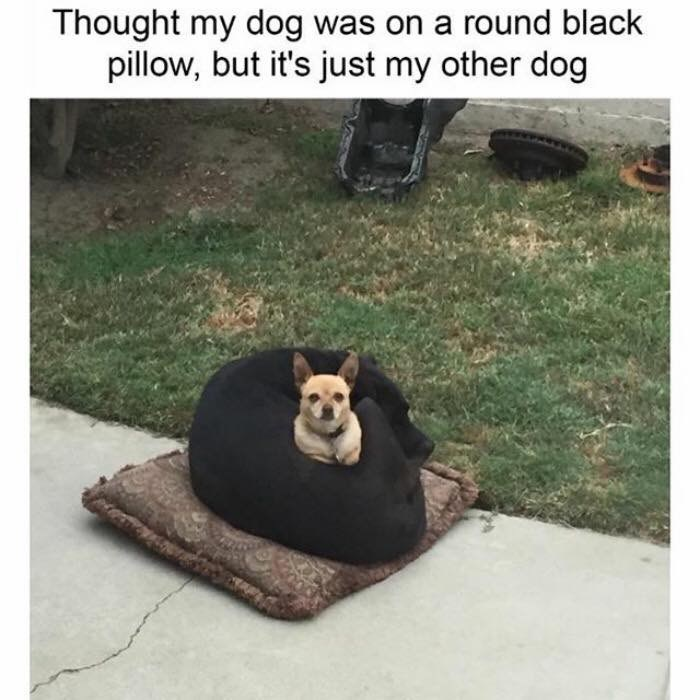 funny meme - Grass - Thought my dog was on a round black pillow, but it's just my other dog